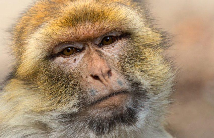 barbary-ape-3775368_1920